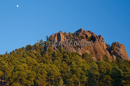 cliff forest of canary island pine