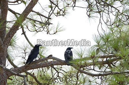 canary islands ravens on a canary