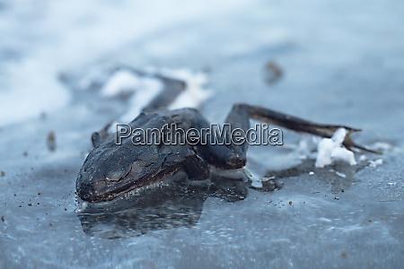 frozen frog on ice