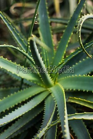 aloe vera plant detail