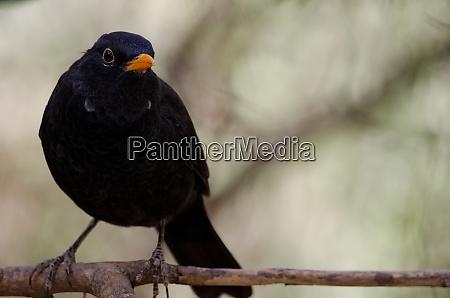 madeiran blackbird turdus merula cabrerae on