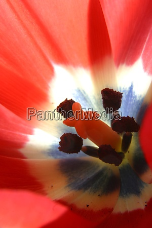 red tulip flower inside view close