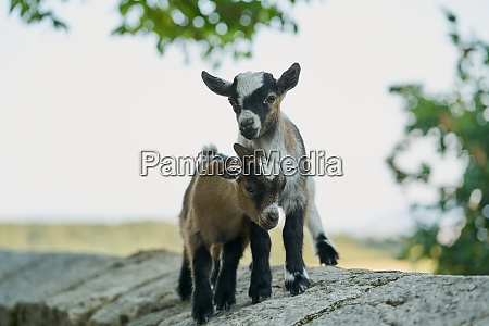 two young goats elcarte spain