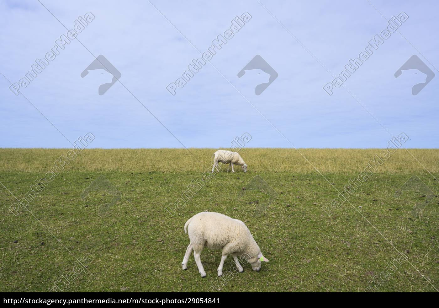 sheep, are, grazing, on, the, dyke - 29054841