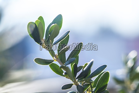olive tree with green leaves