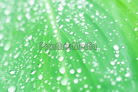 drop water on green leaf blurred