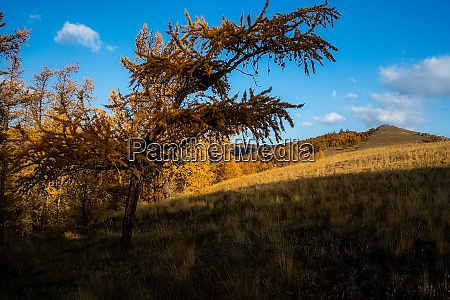 yellow larch on a wasteland trees