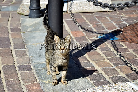 a tabby cat in italy