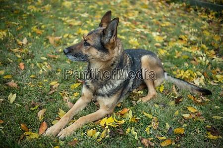 german shepherd in autumn