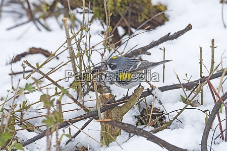 yellow rumped warbler in a snowy