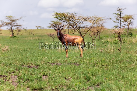 swaynes hartebeest antelope ethiopia wildlife