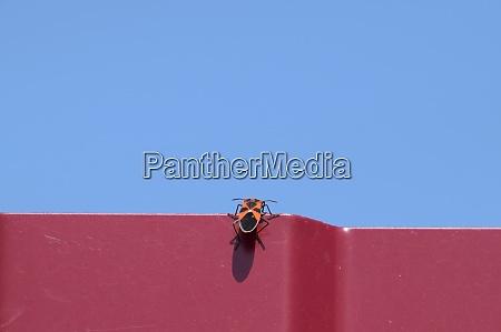 little red bug climbs through a