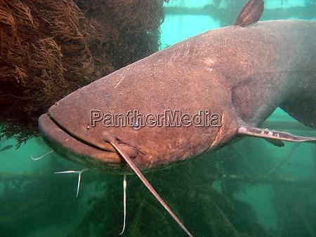 big wels catfish or sheatfish in