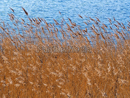 dense reeds swaying in the breeze