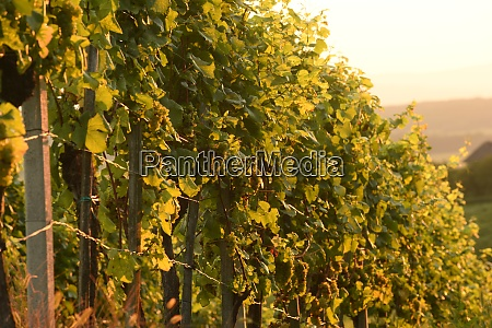 a vineyard with vines in autumn