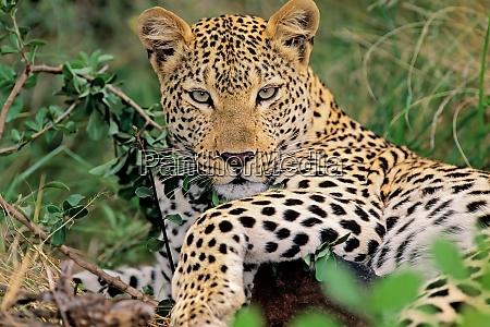 leopard resting in natural habitat
