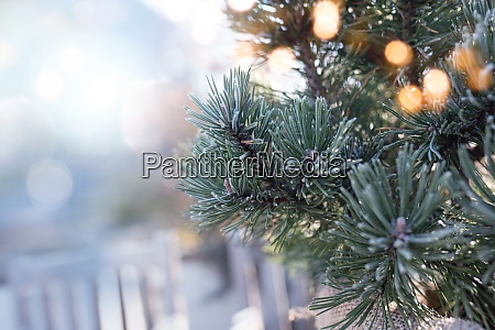 frozen pine branch with bokeh
