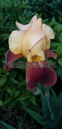 blooming beige and red iris flower