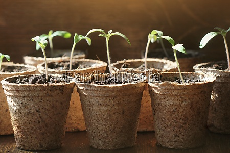 gardening concept young tomato seedling sprouts