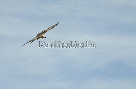 a hawk flies in the blue