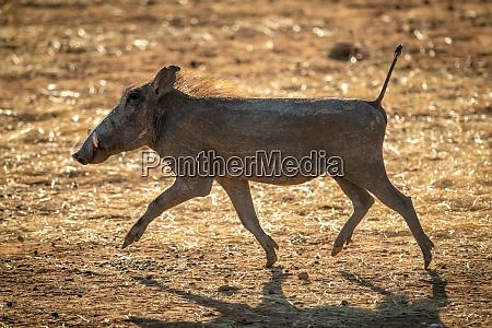 backlit common warthog trots across sunlit