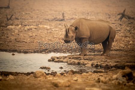 black rhino stands by waterhole in