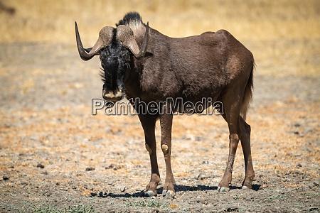 black wildebeest stands in scrub eyeing