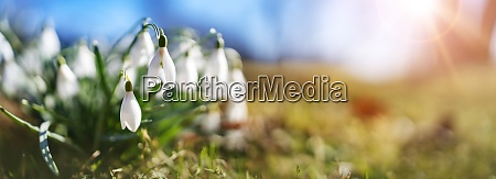 panoramic view to spring flowers in