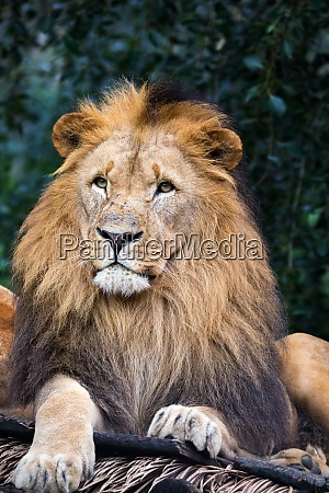southwest african lion or katanga lion