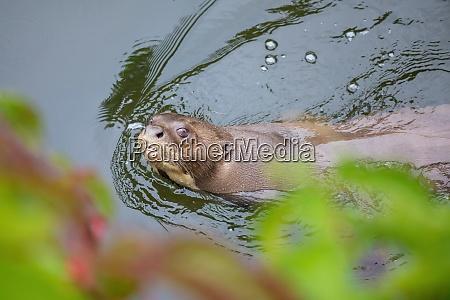 giant otter pteronura brasiliensis fresh