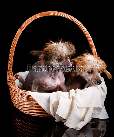 portrait of two amazing chinese crested
