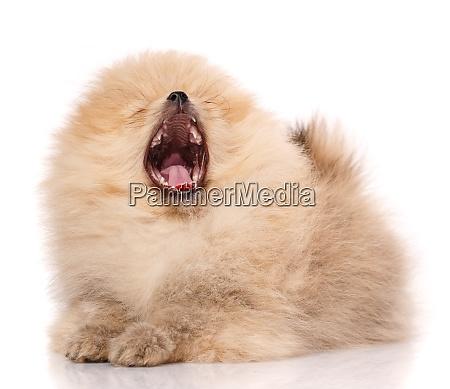 pomeranian dog yawns widely on a