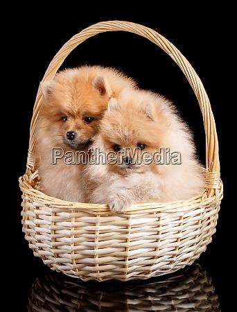 portrait of a pomeranian spitz puppies