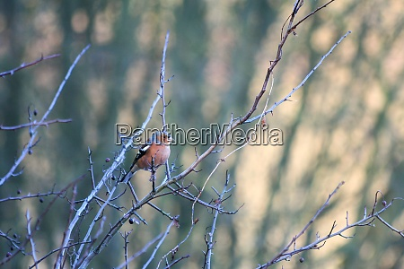 common chaffinch fringilla coelebs perched in