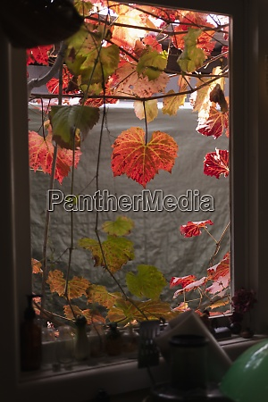 autumn ivy leaves hanging over kitchen