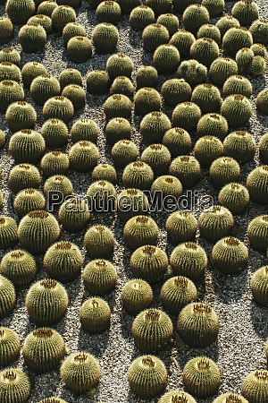 abundance of barrel cactus