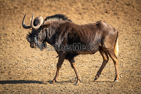 black wildebeest walks across bare rocky