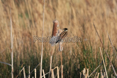 reed bunting emberiza schoeniclus clinging to
