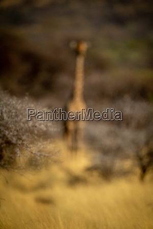 blurred southern giraffe stands among thick