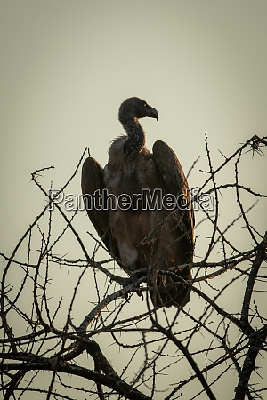 cape vulture silhouetted in tangled tree