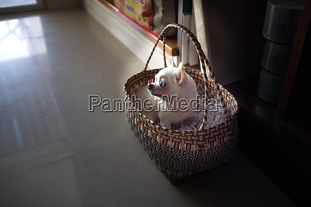 a cute chihuahua in a basket