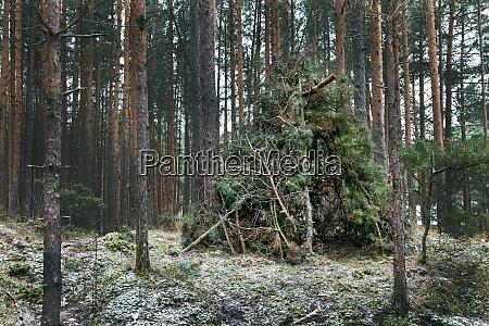 pine tree branch hut in forest