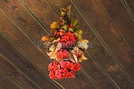 in racemes viburnum berries