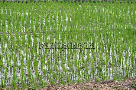 green rice field in west bengal