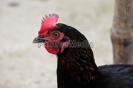 domestic chicken on farm in kumrokhali