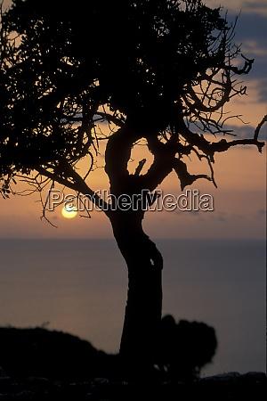 cyprus larnaka olive tree