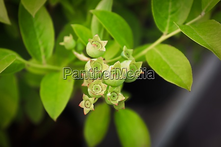top view of green bilberry shrub