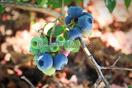 a branch of blueberries in various