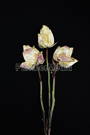 three withered rose blossoms in front
