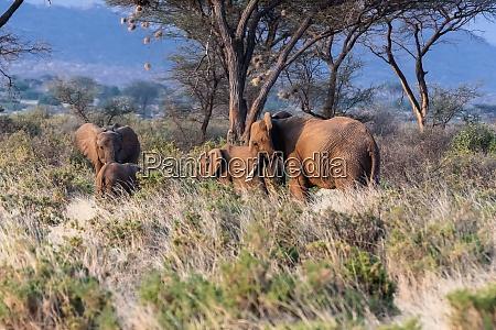elephant family kenya africa